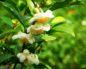 Белый чай: 17 доказанных преимуществ, которые вас удивят.